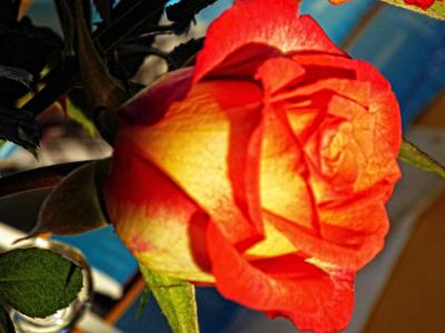 Rose © Sabine Witzke